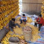 China-corn