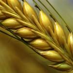 wheat_15