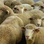ovcevodstvo_1