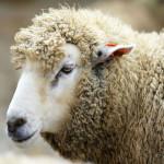 ovcevodstvo_2