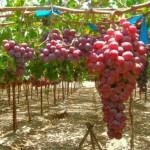 vinograd_1