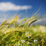 wheat_23