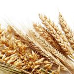 wheat_24