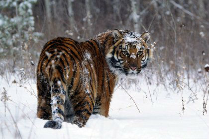 amur_tigr