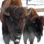 bizon_1