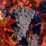 vinograd_5