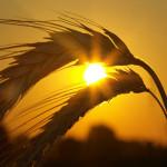 wheat_06