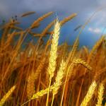 wheat_07