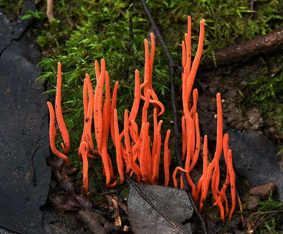 Clavulinopsis_corallinorosacea_