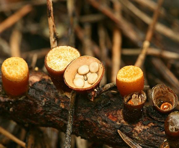 Nidulariaceae