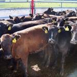 Приемка скота на ферме Житня
