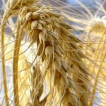 wheat_29