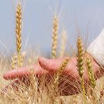 wheat_30