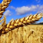 wheat_31