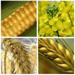 wheat_33