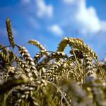 wheat_34