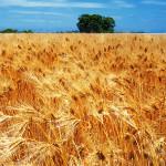 wheat_38