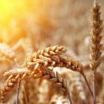 wheat_40