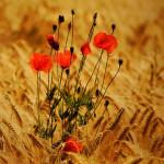 wheat_41