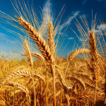 wheat_yachmen_1