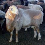 ovcevodstvo_3