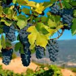 vinograd_4