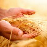 wheat_43