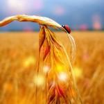 wheat_44