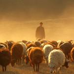 ovcevodstvo_5