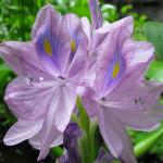 cveti_vodyanoi_giacint
