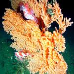 koralli