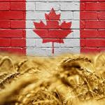 Kanada_wheat