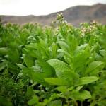 tabak_plantacia_1