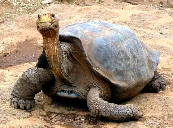Galapagosskie_ostrova_cherepaha