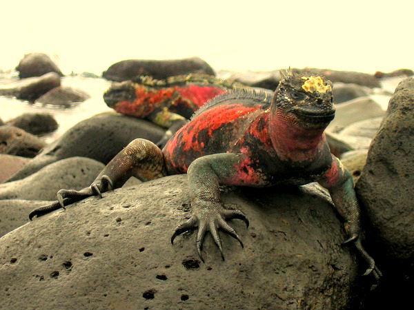 Galapagosskie_ostrova_iguana