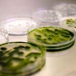 mikrovodorosli