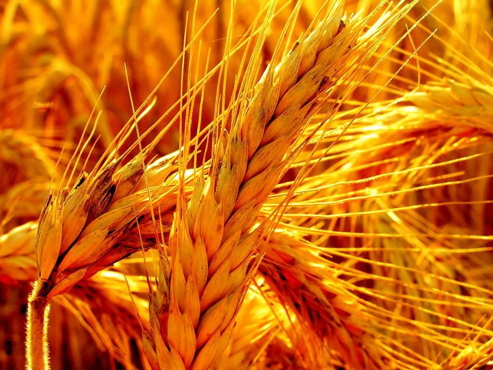 Украина всамом начале 2015/2016 МГэкспортировала 37,3 млн тонн зерна