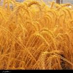 зерно2
