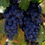 Vinogradnaya-loza
