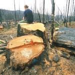 лес рубят
