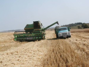 зерно уборка 1