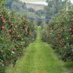 яблочный+сад+кубани