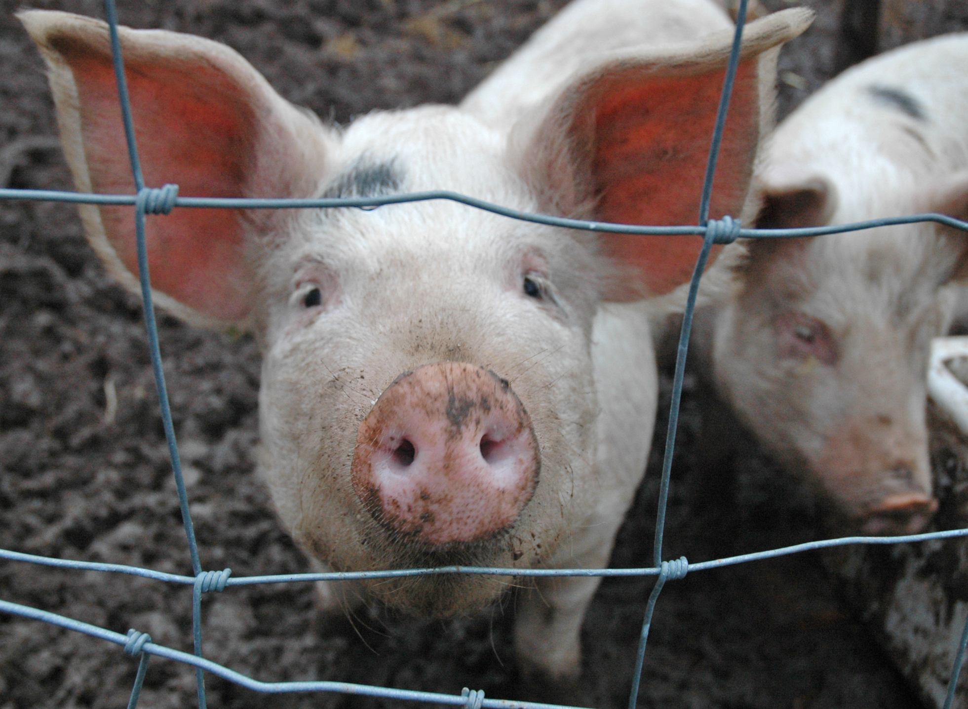 африканская чума свиней ярославль 2016 Китае Бахрейне поменяются