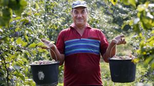 Plum Harvesting in Rostov Region